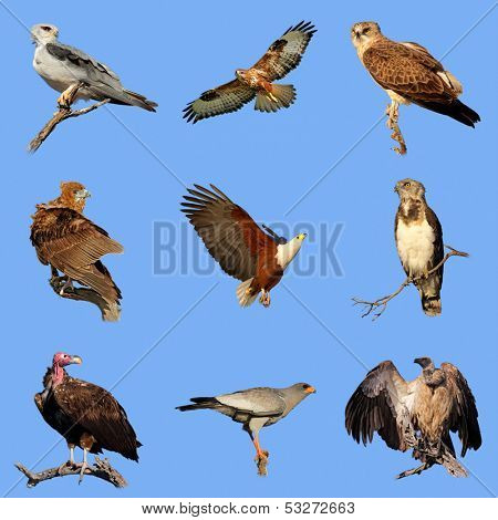 Collection of various species of African birds of prey on a blue sky background