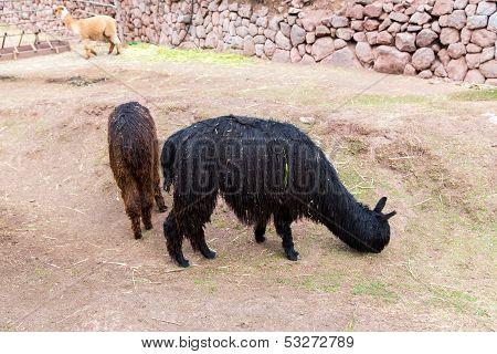 Peruvian  Vicuna. Farm Of Llama,alpaca,vicuna In Peru,south America.