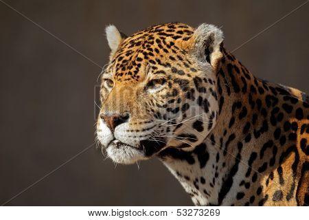 Portrait of a male jaguar (Panthera onca)