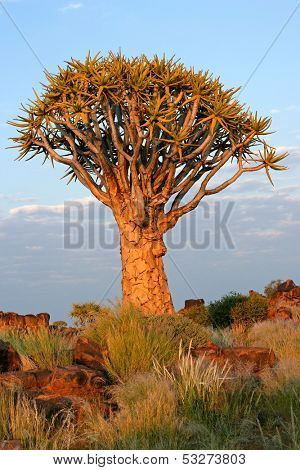 Quiver tree (Aloe dichotoma) in early morning light, Namibia, southern Africa