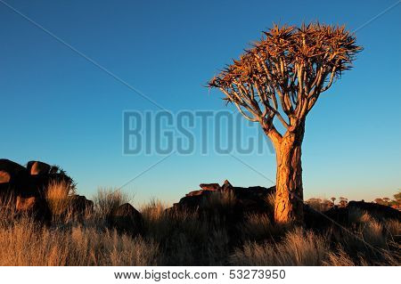 Desert landscape with granite rocks and quiver trees (Aloe dichotoma), Namibia, southern Africa