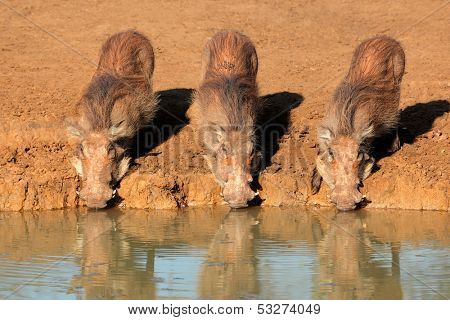 A family of warthogs (Phacochoerus africanus) drinking water, Mkuze game reserve, South Africa