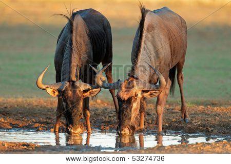 Blue wildebeest (Connochaetes taurinus) drinking water, Kalahari desert, South Africa