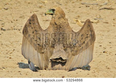 Bateleur Eagle - Wild Bird Background from Africa - Wings over Africa