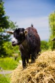 Young Black Goat standing on a bale of hay chewing hay poster