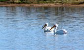 white pelicans on lake 2 poster