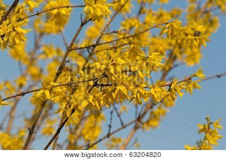 Close up of forsythia bush in blossom