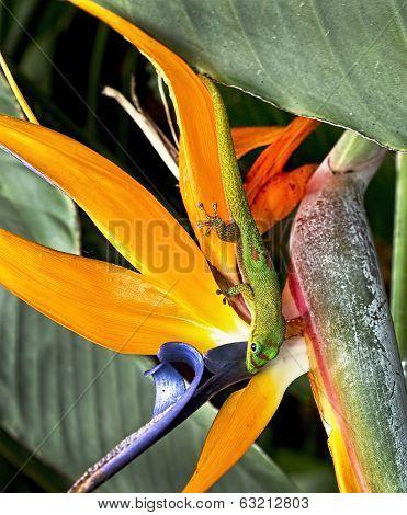 Hawaii Gecko.