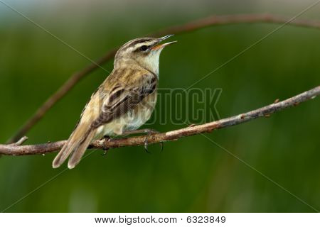 Acrocephalus Schoenobaenus, Sedge Warbler. A Singing Bird.