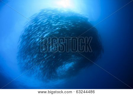 Large School of Chevron Barracuda fish