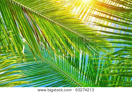 Fresh green palm leaves background, bright sun light through exotic foliage, beauty of tropical nature, summer vacation concept
