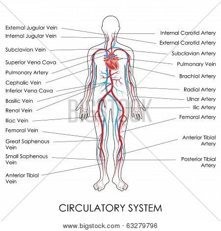 Human Circulatory System Diagram Crazywidowfo