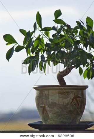 Ficus Tree Grown And Tended As A Bonzai Plant