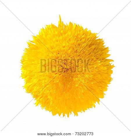 Teddy Bear Sunflower Isolated