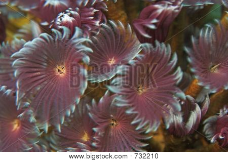 close up of social feather duster tube worm poster