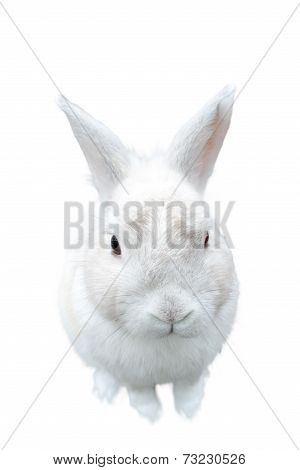 poster of A pretty cute fluffy isolated white bunny