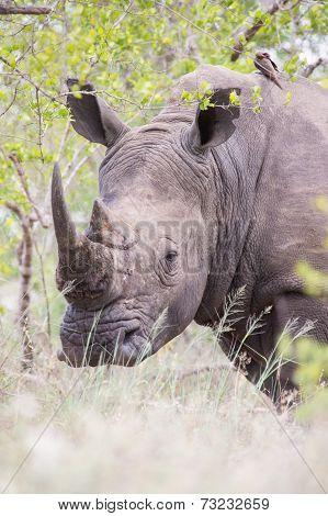 Portrait Of An Old Rhino Hiding For Poachers In Dense Bush
