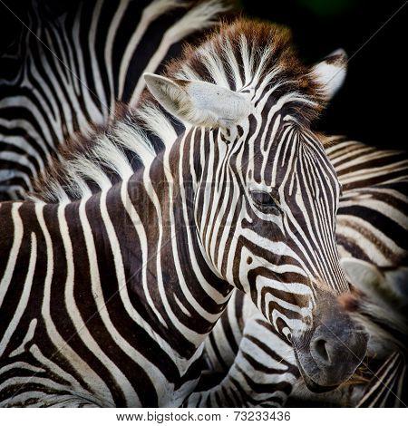 A Headshot Of A Burchell's Zebra