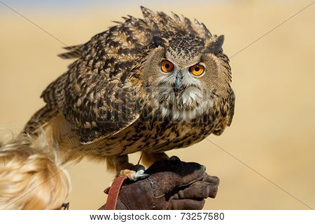Large Owl With Very Big Eyes
