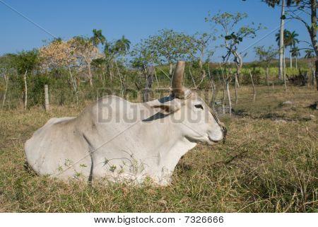 White Bull Resting In The Grass (II)