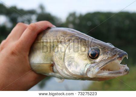 Caught Zander In ? Hand Of A Fisherman