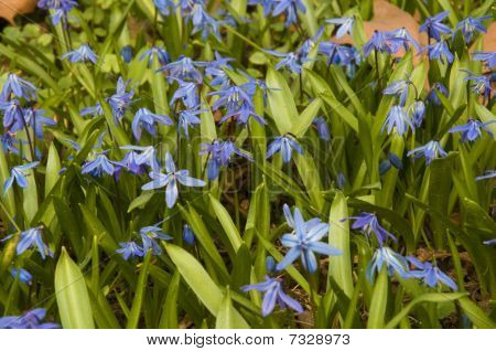 Blooming Scilla