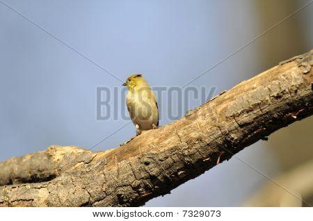 American Goldfinch: Spinus tristis