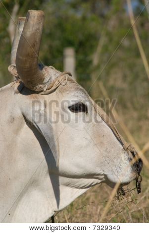 White Bull Head Closeup (II)
