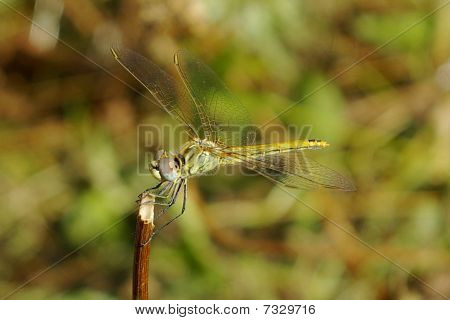 A dragonfly perched on a twig dryes its wings after a rainstorm, preparing to take off again.