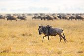 The great african plains with grass. Herds of gnus or wildebeests. Landscape in Ngorongoro, Tanzania. poster