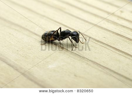 Carpenter Ant In Profile
