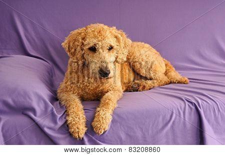 Dog australian labradoodle