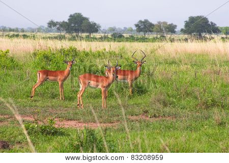 Three Antilopes Stand In The Green Grass