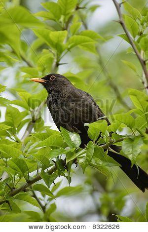 Blackbird az ágon