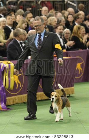 NEW YORK-FEB 17: Miss P, a 15-inch beagle performs with William Alexander before winning Best in Show award at the 139th Annual Westminster Kennel Club Dog Show on February 17, 2015 in New York City.