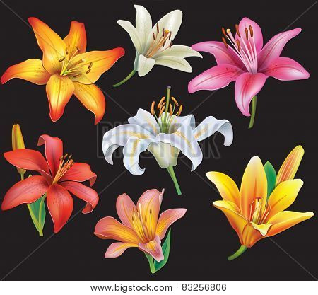 Set of lilies heads on black background