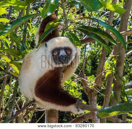Sifaka, Dancing Lemur Of Madagascar
