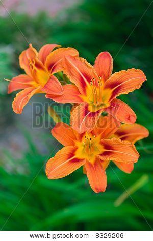 Lily Tiger