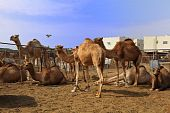 Camels waiting in a pen at the camel section of the livestock market on the outskirts of Doha Qatar Arabia. poster