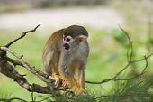 A common squirrel monkey playing in the trees poster