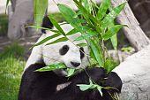 Feeding time. Giant panda eating bamboo leaf poster