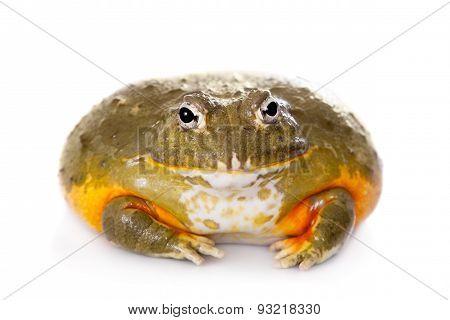 The African bullfrog on white