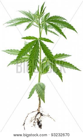 Wild Cannabis plant. Isolated on a white background.