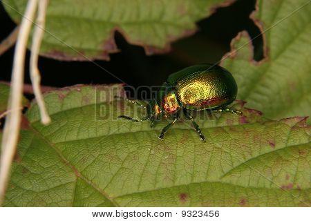 A Jewel beetle (Buprestidae) on a leaf poster