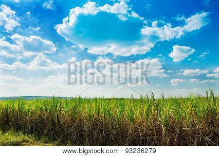 Sugarcane Field In Blue Sky And White Cloud In Thailand.