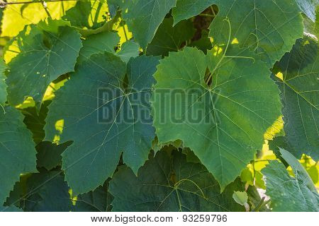 Wine Leafs Background