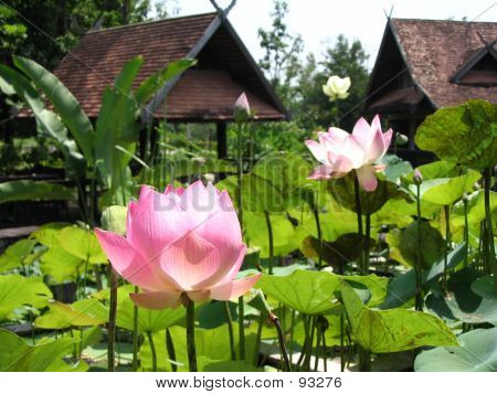 Lotus Flower In Front Of Thai-style Pavillion
