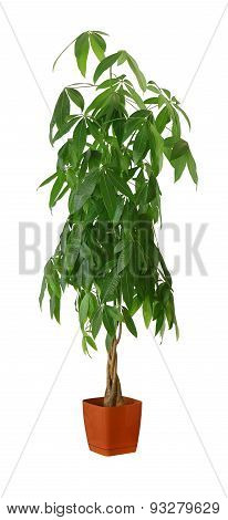 Houseplant - Pachira Aquatica A Potted Plant Isolated Over White