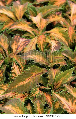Beautiful background of colorful Coleus