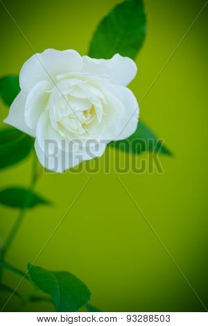 White Beautiful Rose